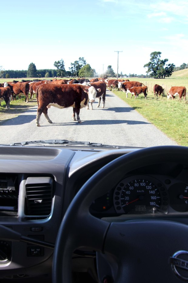 Cow herd on the road
