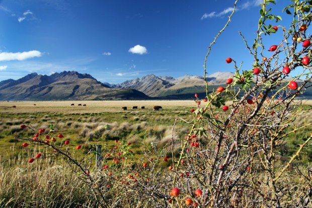 Cows and berries in Aoraki/Mount Cook National Park