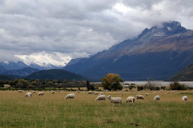 Sheep grazing and snow covered peaks