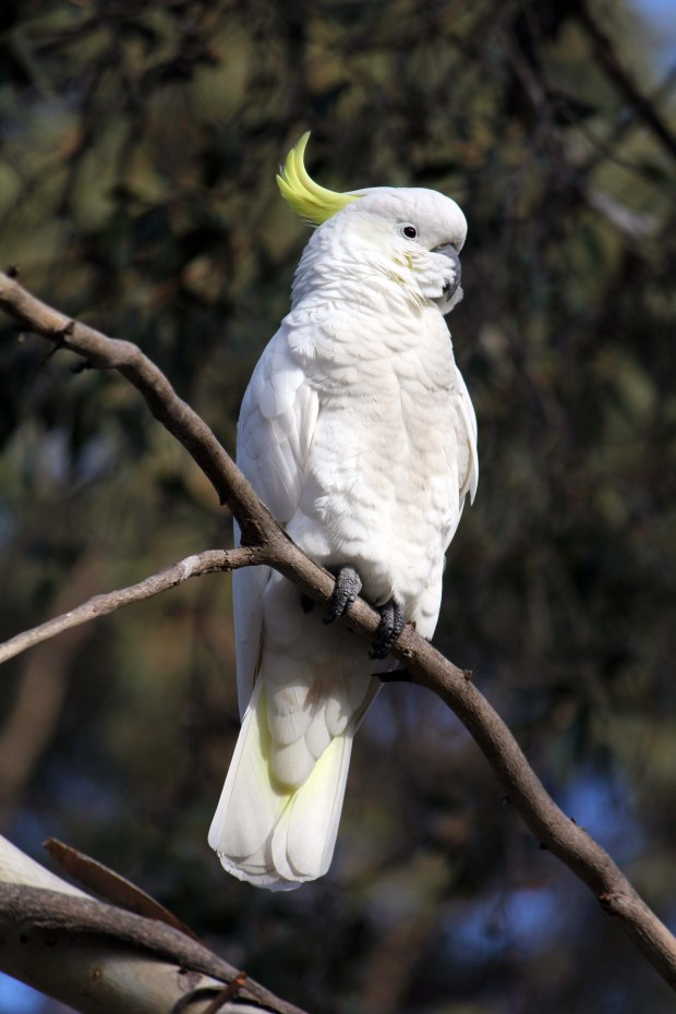 Sulphur crested cockatoo in a tree