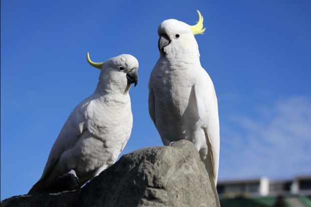 Two sulphur crested cockatoos