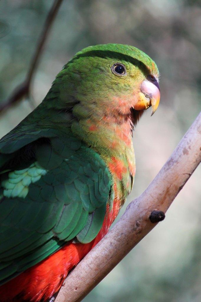 Australian King Parrot in a tree