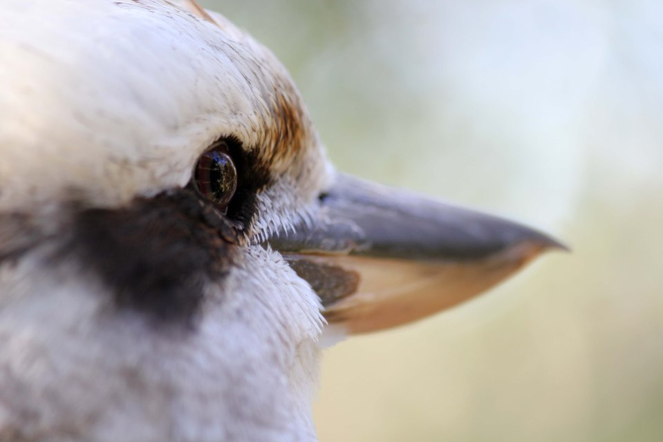 Laughing Kookaburra looking off into the woods
