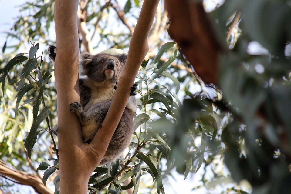Watchful Koala