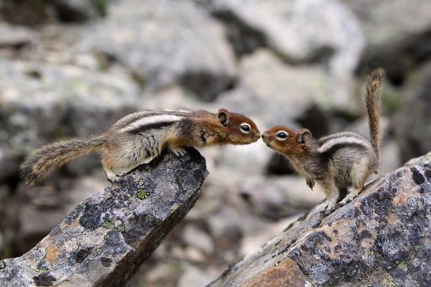 Golden-mantled ground squirrels greeting