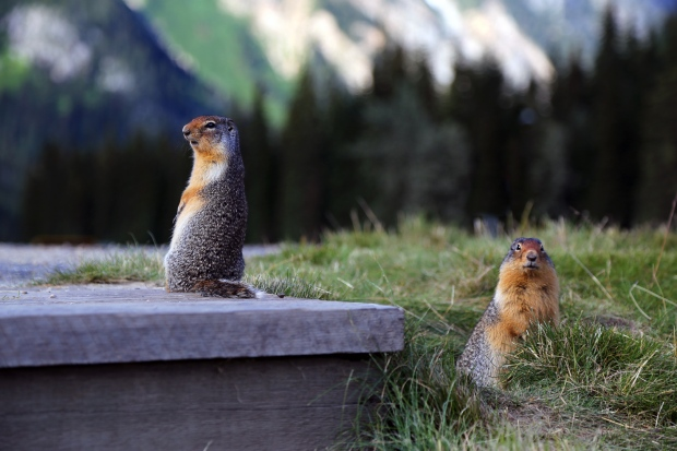 Columbian ground squirrels looking for handouts