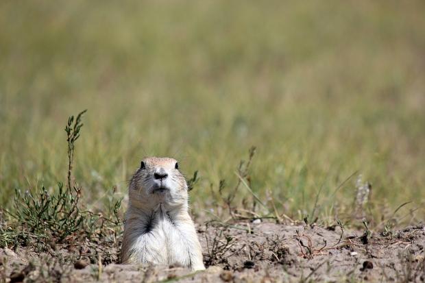 Adorable prairie dog