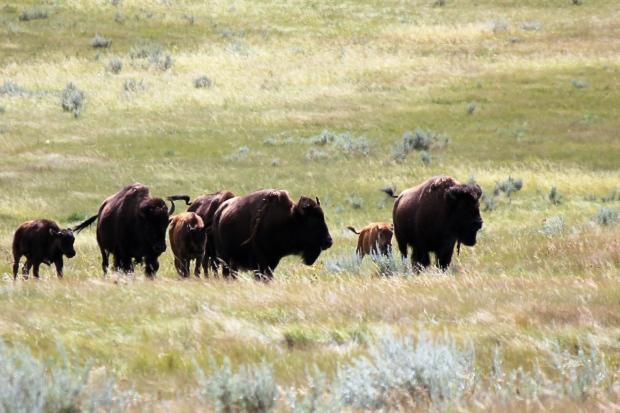 Bison herd at Old Man on his Back National Park
