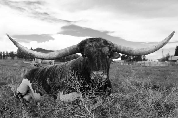 Long-horned bull in Kelowna
